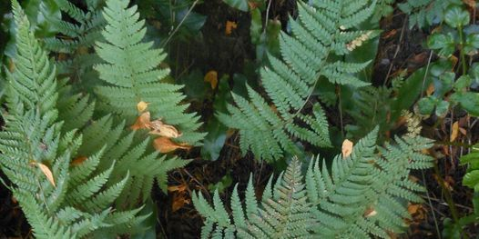 Fun Ferns in Leigh Woods nature reserve with Avellana Ecology, 27 June | Event in Bristol | AllEvents.in