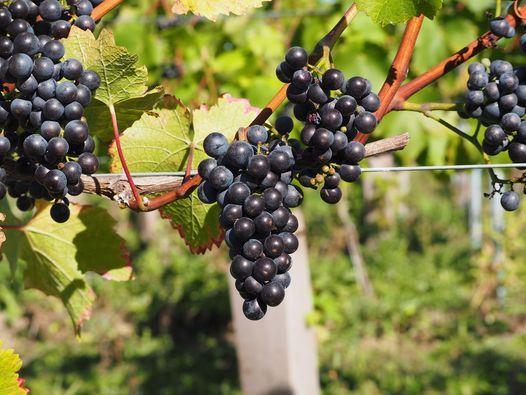 Vineyard Tour & Tasting, 26 May | Event in Colchester | AllEvents.in