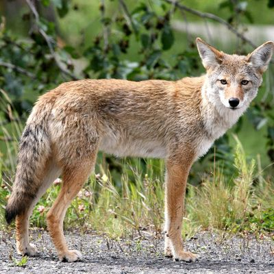 Wild Sarasota Cunning Coyotes (webinar)
