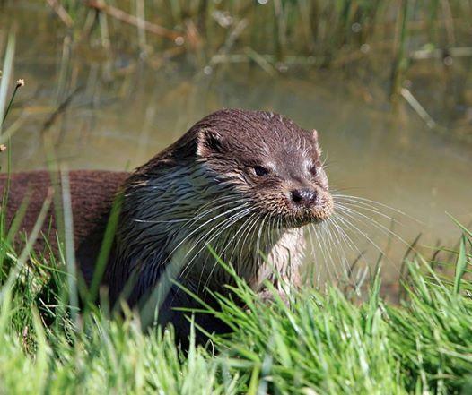 Otters & Development including Mitigation