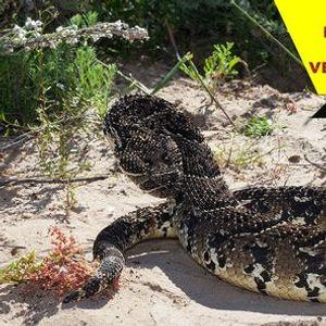 Snake Awareness First aid for Snakebite Venomous Snake Handling