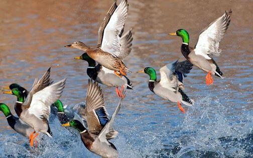 Westside Ducks Unlimited Dinner