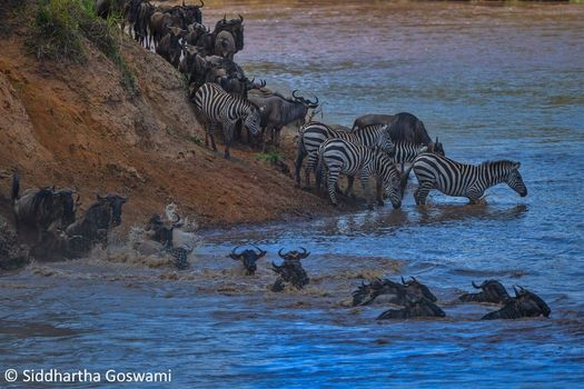 6 Days Masai Mara migration Migration safari package, 5 July | Event in Nairobi | AllEvents.in