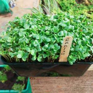 Online Microgreens growing workshop