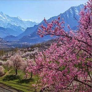 Cherry Blossom Valleys  Hunza Valley Northern Pakistan