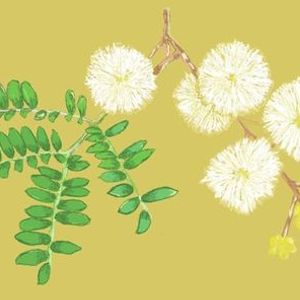 Childrens Week Drawing on Nature Wattle We Draw