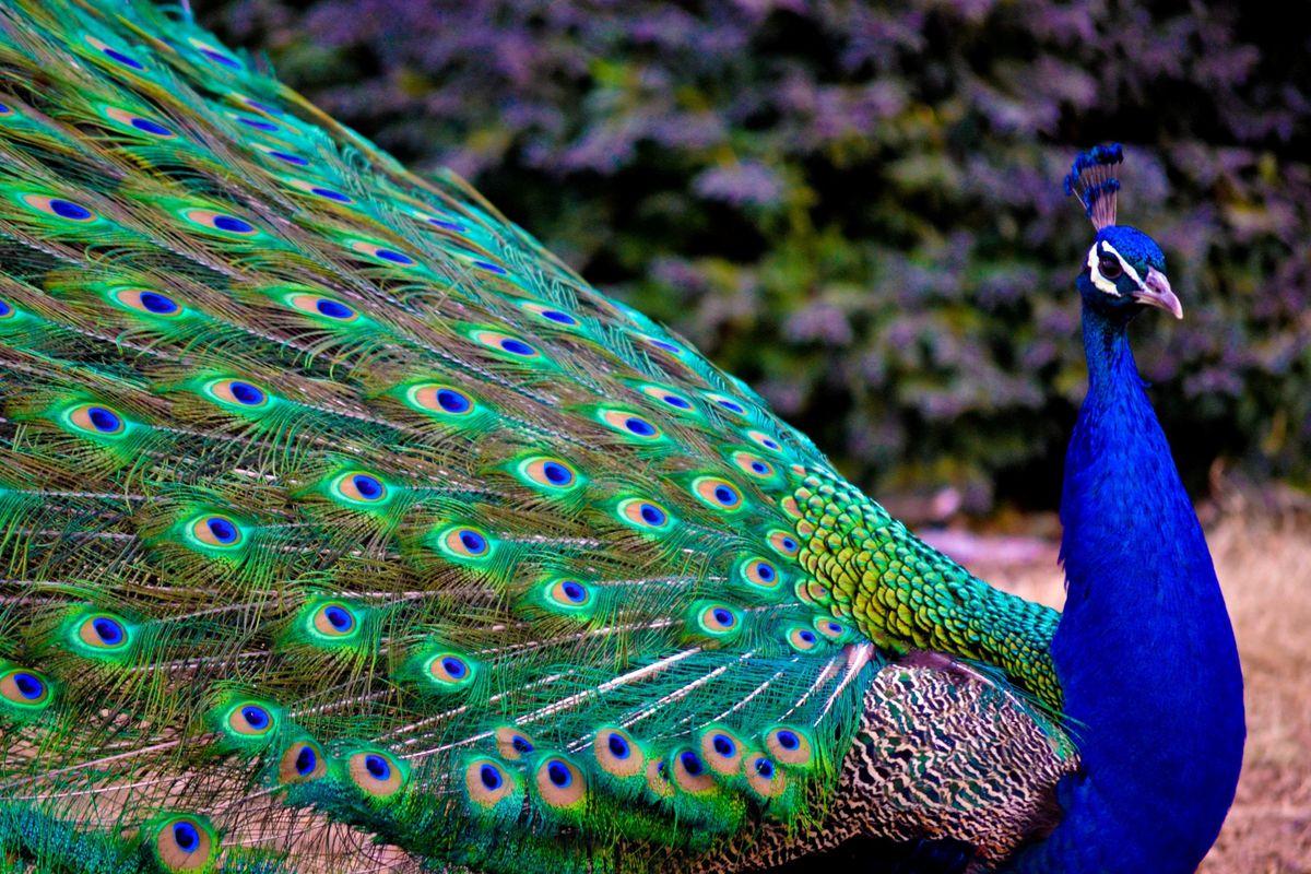 Spring and summer kaleide peacock spinner