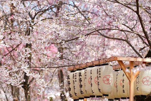 -Sakura Matsuri