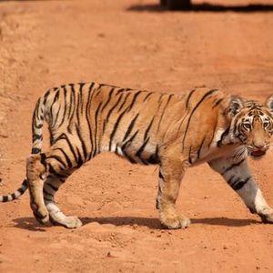 Tadoba Jungle safari (Guaranteed Departure)