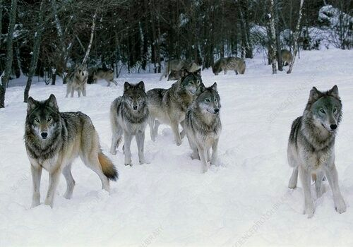 The World of Wolves with Wolfways: Online Naturalist Class, 23 October | Online Event | AllEvents.in
