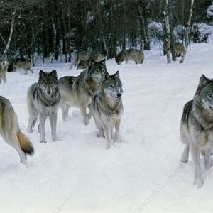 The World of Wolves with Wolfways Online Naturalist Class