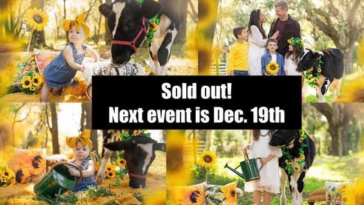 Cow & Sunflower Photoshoots  Orlando- SOLD OUT