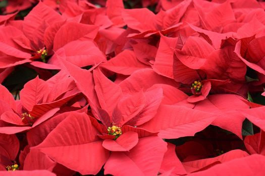 Poinsettia Show & Sale | Event in Baton Rouge | AllEvents.in