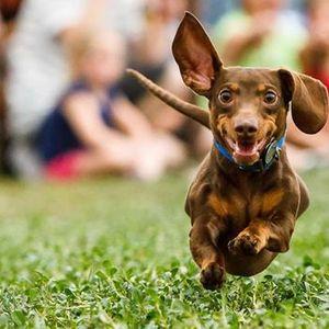 Little Dog Race