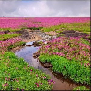 Kaas Plateau - The Valley of Flowers