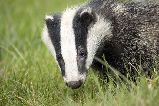 Badger Survey and Ecology