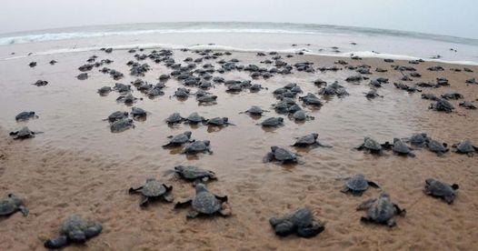 Velas Turtle Festival ,Bankot Fort & Shrivardhan Beach Trip | Event in Pune | AllEvents.in