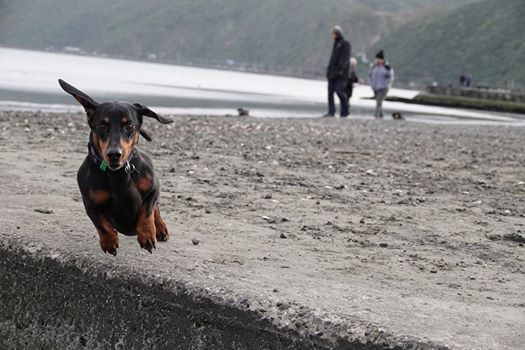 Wellington Dachshund Walking Group Petone Beach Walk