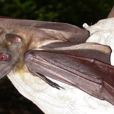 Wild Sarasota Bats (webinar)
