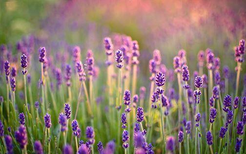 Lavender Farm Mini Sessions