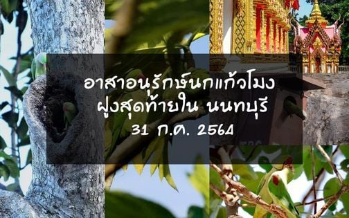 อาสาอนุรักษ์นกแก้วโมง ฝูงสุดท้ายใน นนทบุรี, 31 July