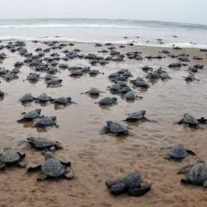 Velas Turtle Festival Bankot Fort & Shrivardhan Beach Trip