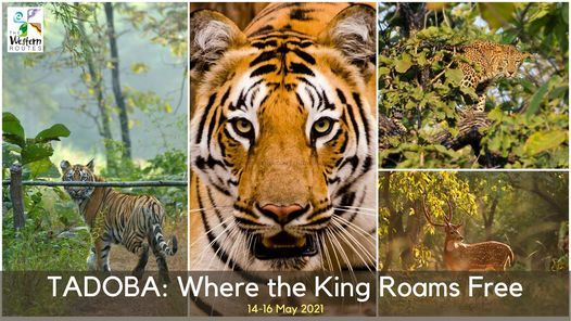 TADOBA: Where the King Roams Free!, 14 May | Event in Pune | AllEvents.in
