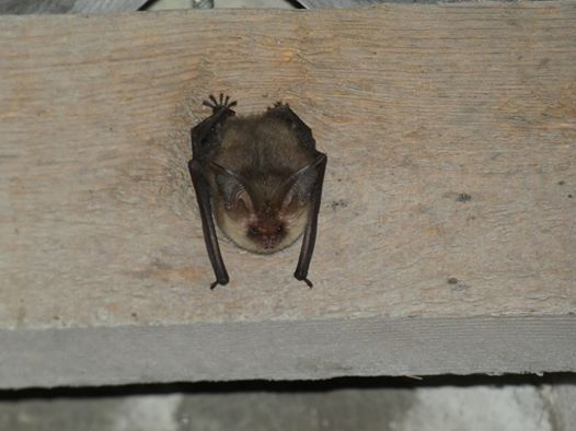 Bat Roost Impacts and Mitigation
