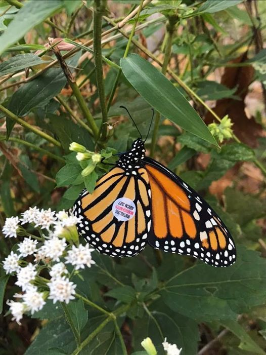 NABA Butterfly Count