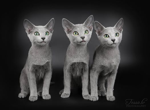 Russian Blue Special Show & Breed BIS