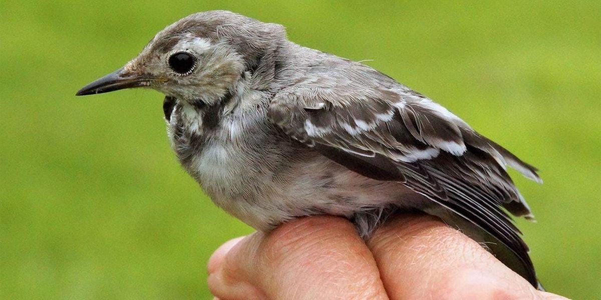 Bird Ringing at GPNR