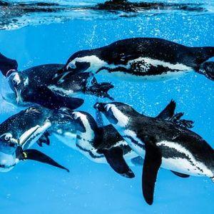 Ppaszemes pingvinek ltvnyetetse a gyri llatkertben